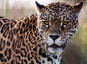 Jaguar in the Jaguar Re-introduction  Center, within the San Alonso Reserve,  Iberá National Park , Corrientes Province