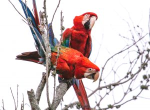 Pichonas posadas en un árbol - foto de Manuel Verrastro - (1)